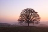Old Oak Tree in Meadow at Dawn, North Rhine-Westphalia, Germany Photographic Print by F. Lukasseck
