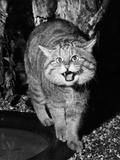 Wild Cat Photographic Print by William Vanderson