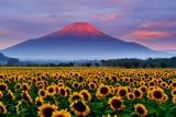 Sunflower and Red Fuji Photographic Print by  katsumi.takahashi