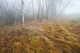 Foggy Moor Landscape with Birch Trees Fotografiskt tryck av Olaf Broders