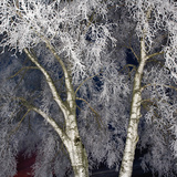 Birch Tree in Winter Frost, Night Photographic Print by Roine Magnusson