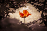 Fable Tulip Photographic Print by  azur13