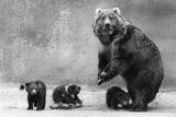 Kodiak Bear Family Photographic Print by Evening Standard