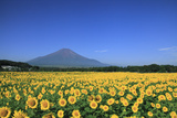 Sunflower Field and Mount Fuji Photographic Print by  SHOSEI/Aflo