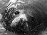 Seal Close-Up Photographic Print by  Keystone