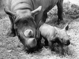 Two Day Old Rhino Photographic Print by Central Press
