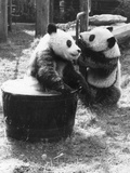 Pandas Playing Photographic Print by Evening Standard