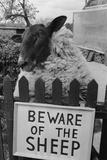 Shambles the Sheep Fotografisk tryk af  Cole