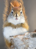 Red Squirrel Photographic Print by Craig A Mullenbach