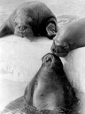 Three Seals Photographic Print by Hulton Archive