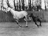 Racehorse and Colt Photographic Print by Colin Davey