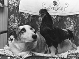 Dog and Cock Photographic Print by Fox Photos
