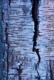 Abstract Birch Tree Bark Pattern in Winter Fotografiskt tryck av Olaf Broders