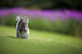 European Squirrel, Kirstenbosch, Cape Town, Western Cape, South Africa Photographic Print by Heinrich van den Berg