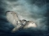 Flying Owl Bird at Night Papier Photo par  egal