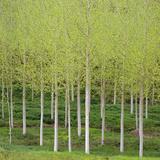 Birch (Betula), Dordogne, France Photographic Print by David Henderson