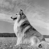 Lassie Dog Photographic Print by Three Lions