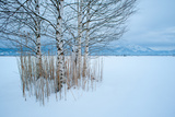 Birch Tree Group in Front of Bavarian Alps Fotografiskt tryck av Olaf Broders