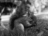 A Squirrel Photographic Print by Peter Trulock