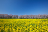 Cherry Trees and Rapeseed Field, Saitama Prefecture Photographic Print by Tetsuo Wada/Aflo