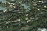 Pacific Harbor Seals Photographic Print by Tom Kelley