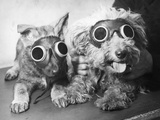 Puppy Goggles Photographic Print by Harry Todd