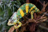 Chameleon. Photographic Print by  Debu55y