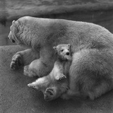 Polar Bear Mum Photographic Print by Fox Photos