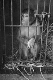 Caged Monkey Stampa fotografica di Charles Hewitt