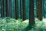 Fairy Tale Fir Tree Forest Photographic Print by mr. Smith