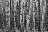 Birch Stand Fotografisk trykk av Ron Kochanowski