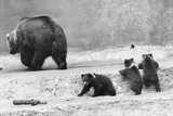 Kodiak Bear and Cubs Photographic Print by Evening Standard