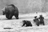 Kodiak Bear and Cubs Photographic Print by Evening Standard