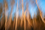 Birch Tree Trunks in Soft Evening Light Fotografiskt tryck av Olaf Broders