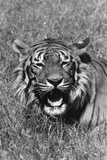 Tiger Roars Photographic Print by Evening Standard