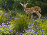 Fawn in the Garden Photographic Print by John Lund