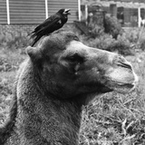Camel and Rook Photographic Print by William Vanderson