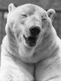 Polar Bear Close-Up Photographic Print by Evening Standard
