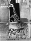 Baby Giraffe Photographic Print by Graham Morris