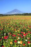 Mount Fuji and Zinnia Flowers, Yamanashi Prefecture Photographic Print by  SHOSEI/Aflo