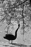 Swan in Park Photographic Print by Jon Player