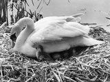 First Cygnet Emerges Photographic Print by Central Press