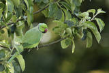 Male Rose-Ringed Parakeet (Psittacula Krameri) Perched in Tree, UK Papier Photo par Garden Picture Library