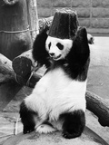 Panda Head Bucket Photographic Print by William Vanderson