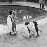 Penguin Family Photographic Print by Dennis Rowe