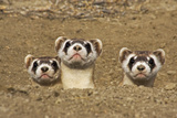 Three Black-Footed Ferrets in Burrow Photographic Print by Wendy Shattil and Bob Rozinski
