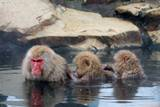 Snow Monkey Onsen Hierarchy Photographic Print by Raymond Kan