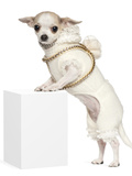 Chihuahua (2 Years Old) Standing Up Photographic Print by Life on White