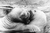 Walrus Kiss Photographic Print by  Keystone