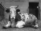 Large Ox Photographic Print by General Photographic Agency